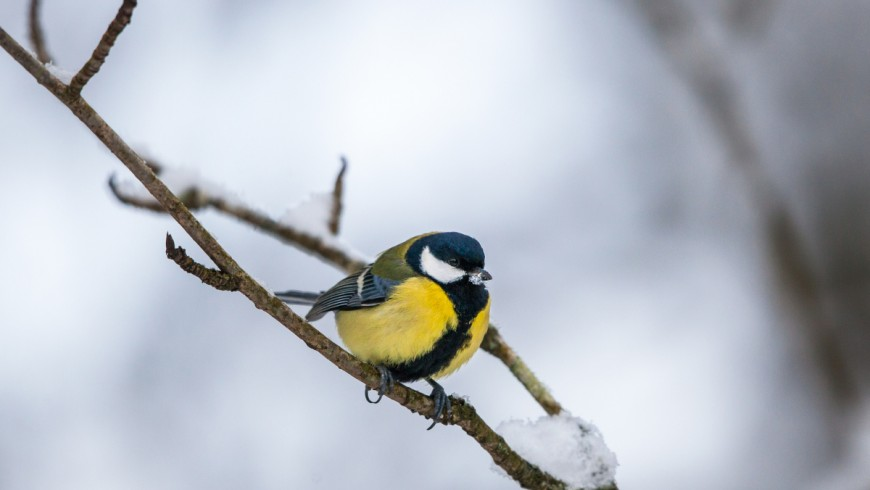Great tit on a branch in winter forest