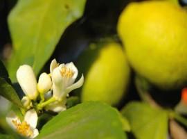Fiori della pianta di limoni