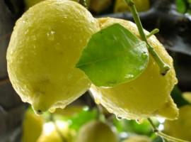 Limoni e foglie