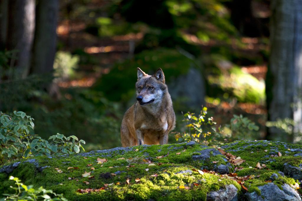 lupo, trekking nel parco delle alpi marittime
