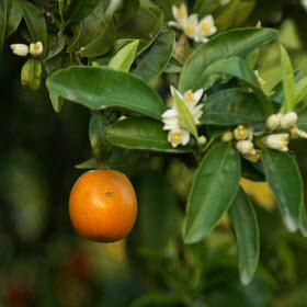 Albero arancia