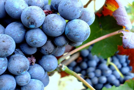 Grappolo uva rossa