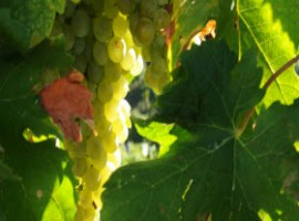 Grappoli uva bianca