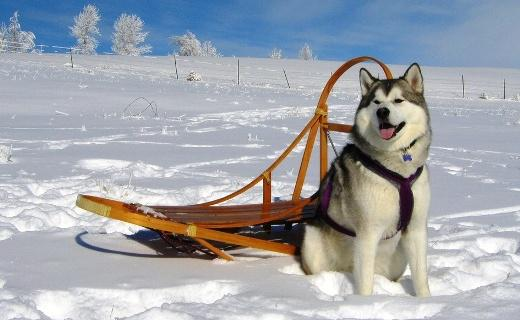 werfenweg, gara con i cani da slitta