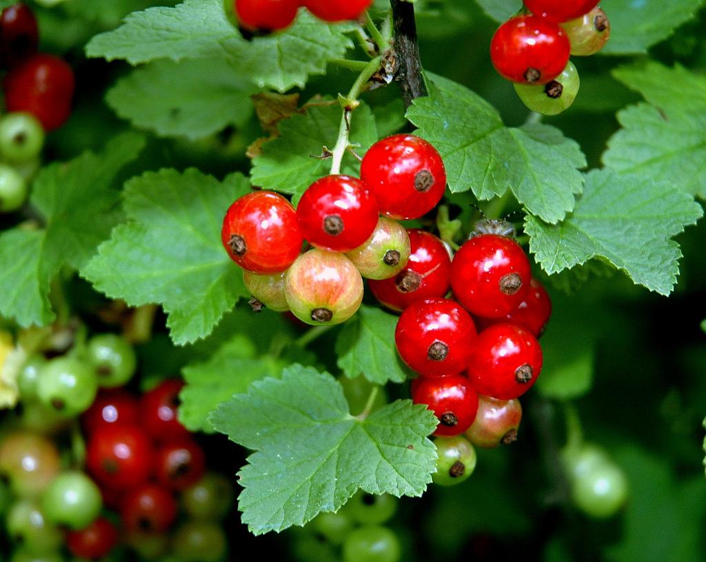 Ribes rosso, in viaggio a contatto con la natura