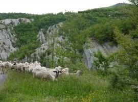 Paesaggio del Casentino con pecore libere al pascolo