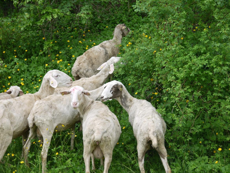Pecore e Verde in Casentino
