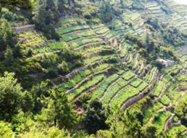 Oliveti e vigneti verdissimi nell'entroterra Ligure