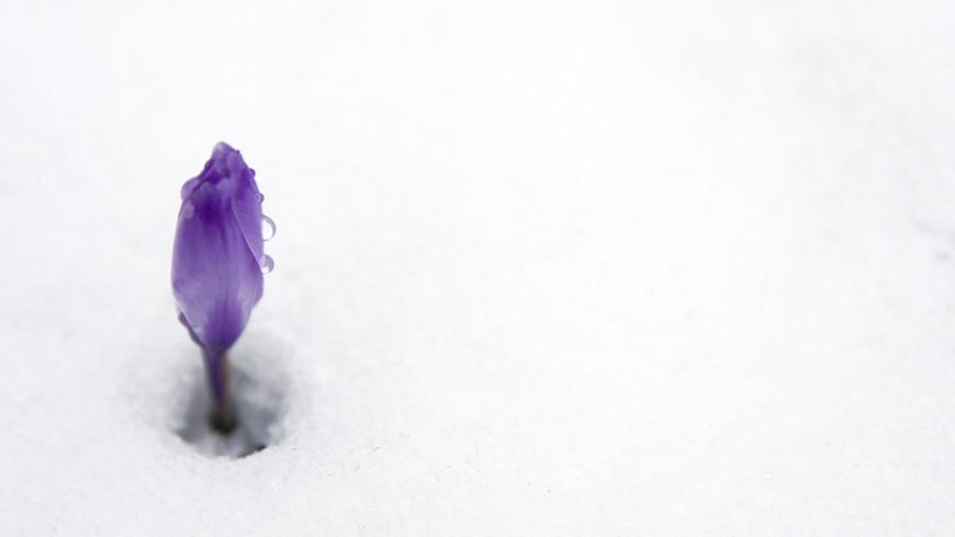 Neve e Primavera in arrivo: un fiore buca la neve in Trentino Alto Adige