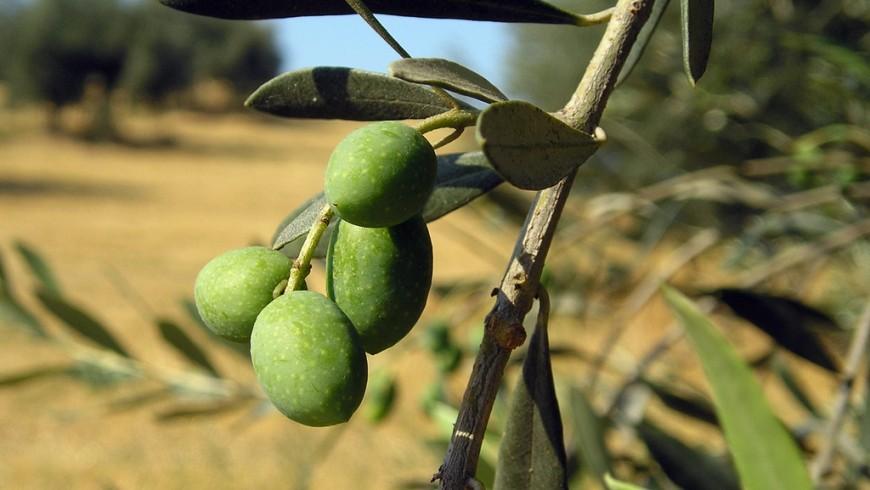 Olive del lago di Garda. L'olio è una delle specialità a km zero da non perdere