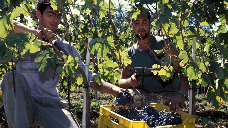 Giovani agricoltori durante la vendemmia