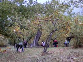 Raccolta di castagne nel bosco dell'Agriturismo La Casina