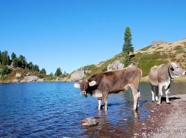Due mucche nei Lagorai