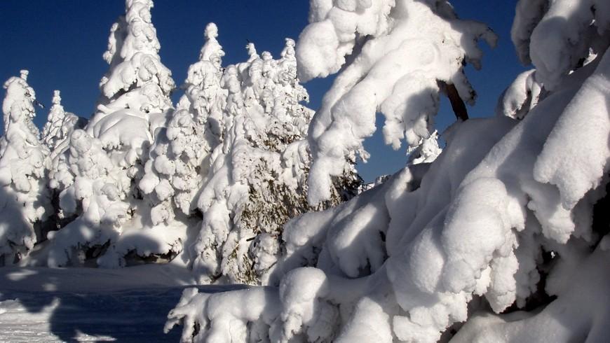 abeti coperti di soffice neve bianca