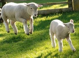 Due pecore di Tribewanted Monestevole, vacanza in fattoria in Umbria