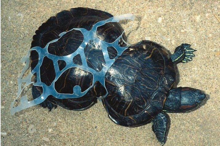Come la plastica distrugge i nostri oceani: una tartaruga è deformata da un imballaggio in plastica