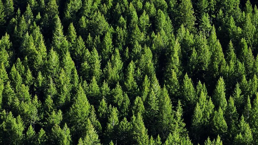 Le emissioni di CO2 risparmiate possono essere comparate al numero di alberi piantati. Foresta di pini vista dall'alto