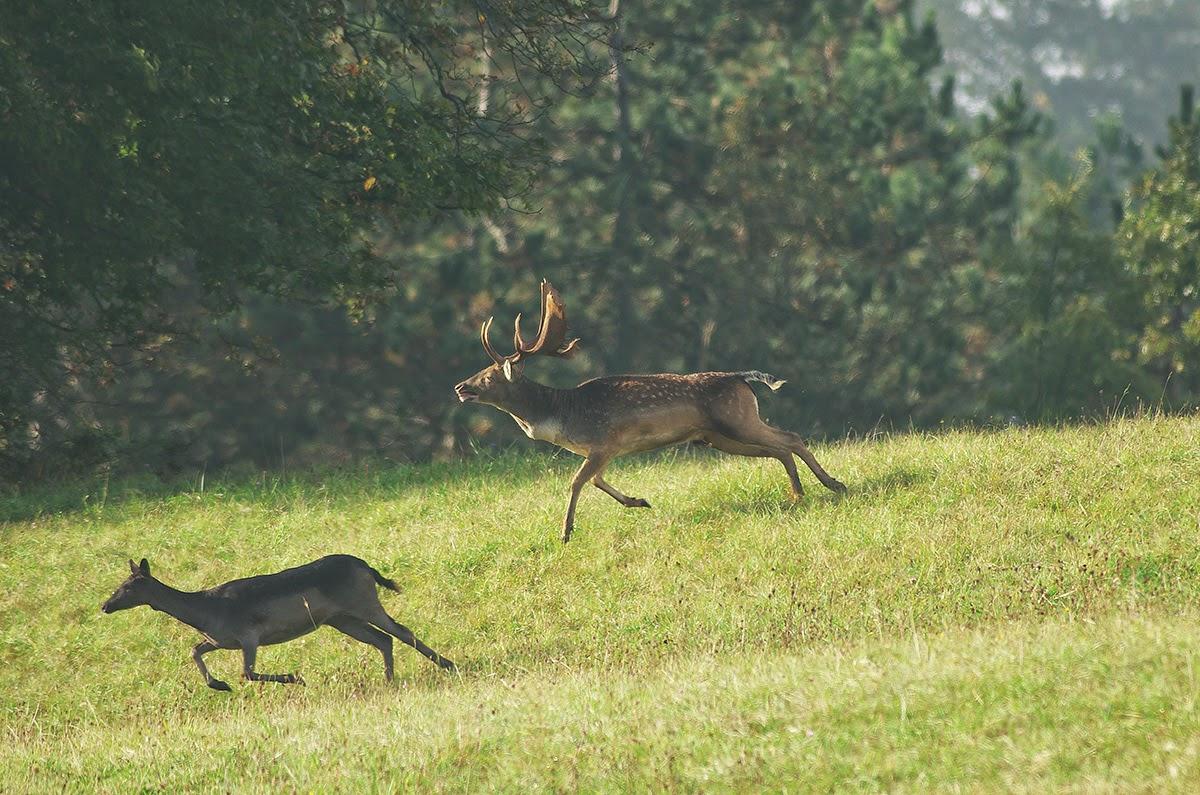 Cervo nella Riserva Ghirardi,
