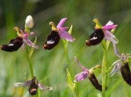 Orchidee nella Riserva Ghirardi, Parma