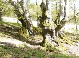 Lessinia, alberi secolari