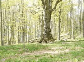 Lessinia, foresta e faggio secolare