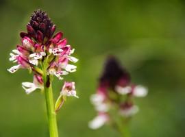 Orchidee selvetiche nella Riserva dei Ghirardi, Parma, Emilia,