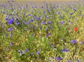 Biodiversità e fiori attorno alla Querceta di Marnacchia
