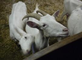 Valle Aurina, capre da conoscere ed accarezzare al Maso