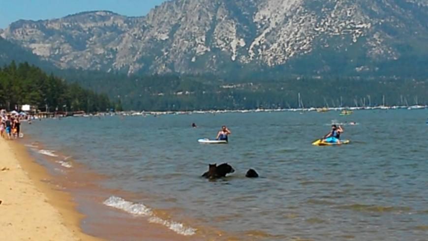 L'orsa e i suoi cuccioli sulla spiaggia della California