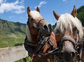 cavalli di razza avelinese a Plan, Val Passiria, Alto Adige