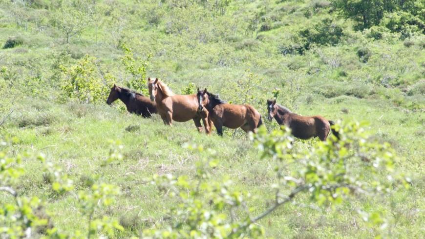 I cavalli selvaggi del Parco dell'Aveto