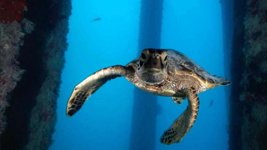 Tartaruga verde nella riserva marina delle Hawaii