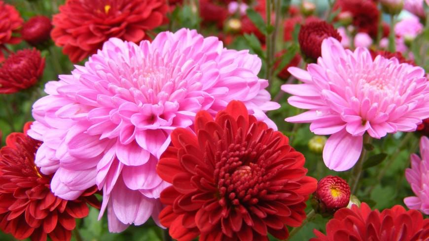 Il crisantemo è una delle piante che migliorano la qualità dell'aria della casa