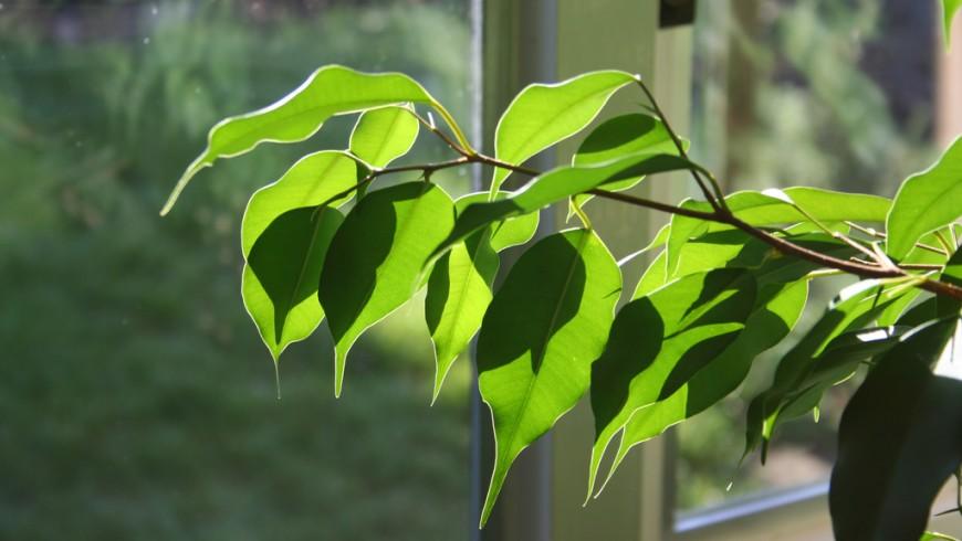 Il ficus è una delle piante che migliorano la qualità dell'aria della casa