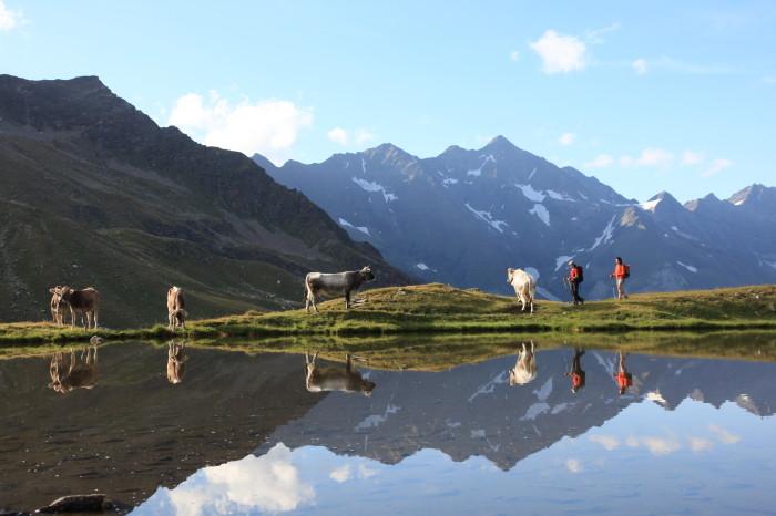 Mucche libere al pascolo nella natura incontaminata vicino a Plan, Val Passiria, Perla Alpina di Moso in Val Passiria, Alto dige