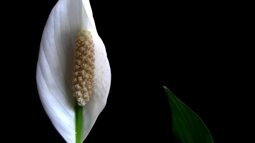 Il giglio della pace è una delle piante che migliorano la qualità dell'aria della casa