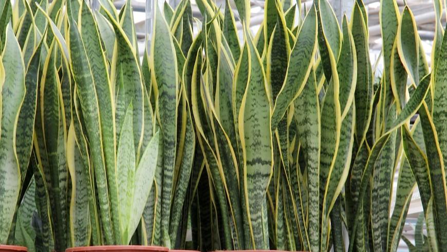 La Sansevieria è una delle piante che migliorano la qualità dell'aria della casa