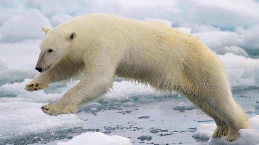 L'orso polare è divenuto uno dei simboli del cambiamento climatico. Riuscirà l'accordo di Parigi a salvare il Pianeta?