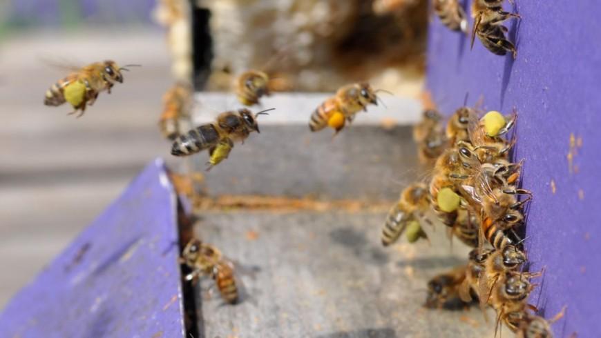 Raccolta del polline - Sls1ca via Flickr