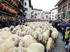 Gregge di pecore nel centro storico di Cogne, Valle d'Aosta