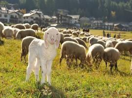 Gregge di pecore tra le montagne di Cogne, Valle d'Aosta