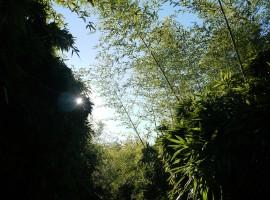 Bambù nel Labirinto più grande del mondo
