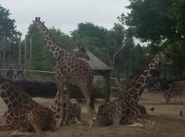 giraffe allo Zoo, in Vacanza ad Amsterdam con i bambini