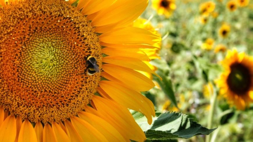 Un'ape mentre impollina un fiore