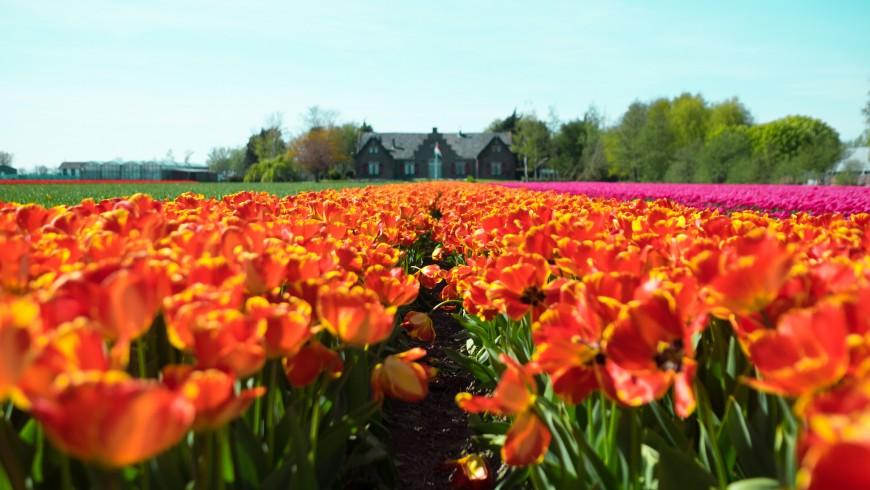 Vacanza di primavera tra i tulipani d'Olanda