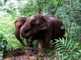 elefanti nella riserva dell'Elephant Valley Project, Ratakaniri, Cambogia
