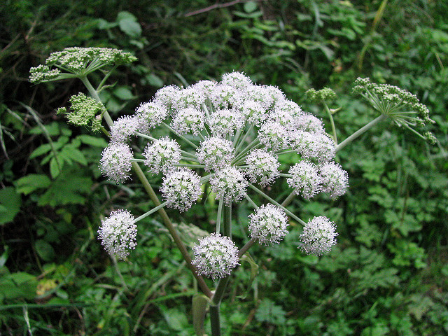 Cicuta, pianta velenosa