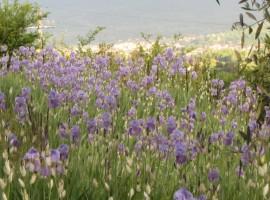 Fiori di iris, agriturismo Poggio Pratelli, alloggi verdi