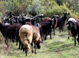 Caprette al pascolo lungo un percorso del Parco Naturale del Cilento