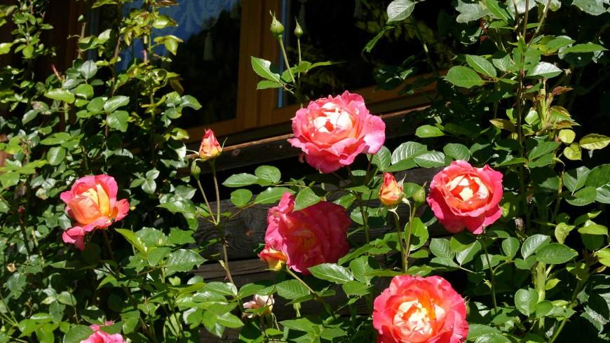 Uno chalet tra le rose delle Dolomiti